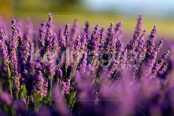 Lavender Field Photo #55063