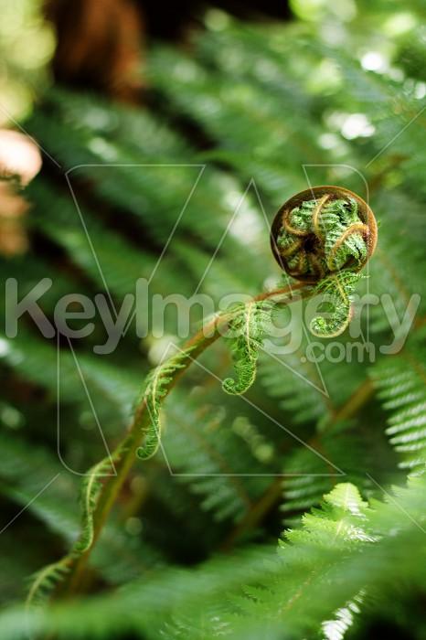 NZ Fern Unfolding Photo #55060