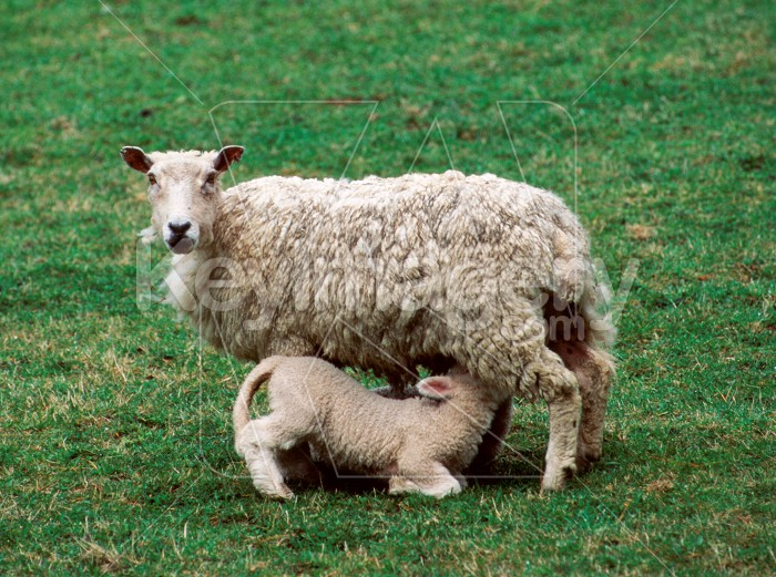 Feeding Ewe Photo #56153