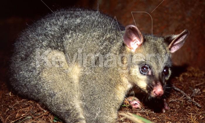 Grey Possum Photo #56183