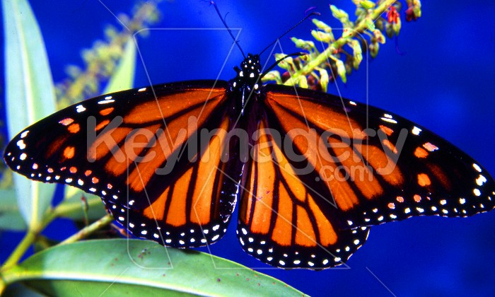 Monarch Butterfly Photo #56172