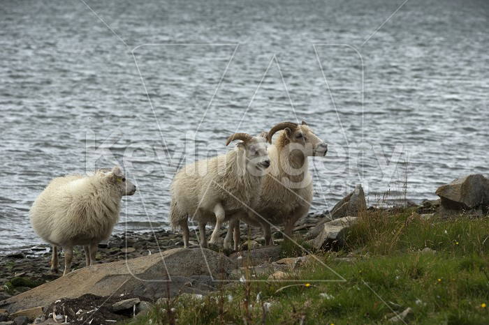 Icelandic sheeps on the meadow in windy weather. Photo #57129