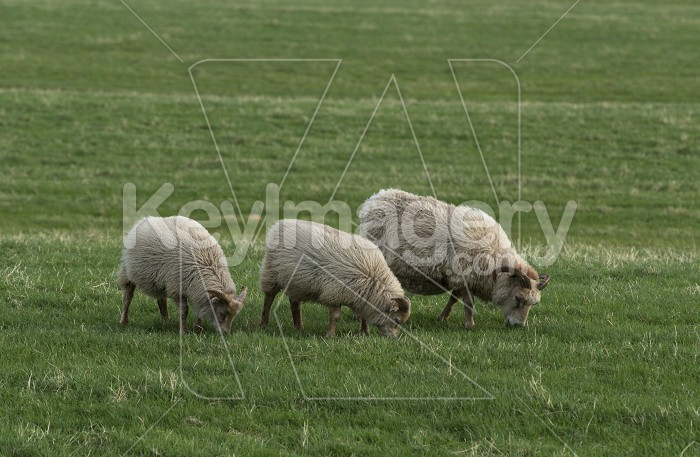 Icelandic sheeps on the meadow in windy weather. Photo #57130