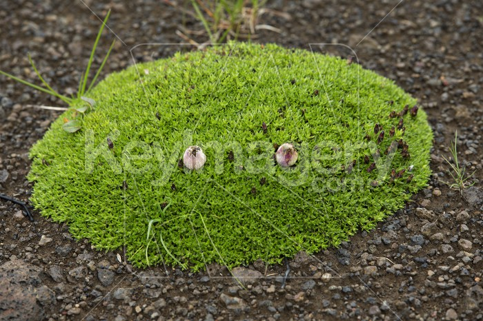 tussock with green grass growing on volcanic lava Photo #57122