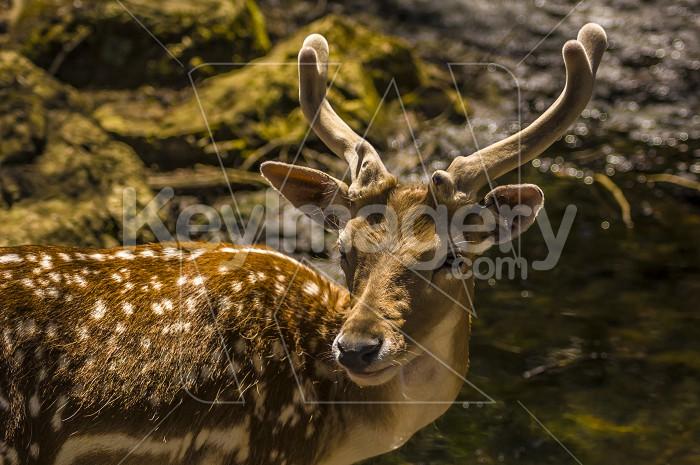 Deer Photo #54988