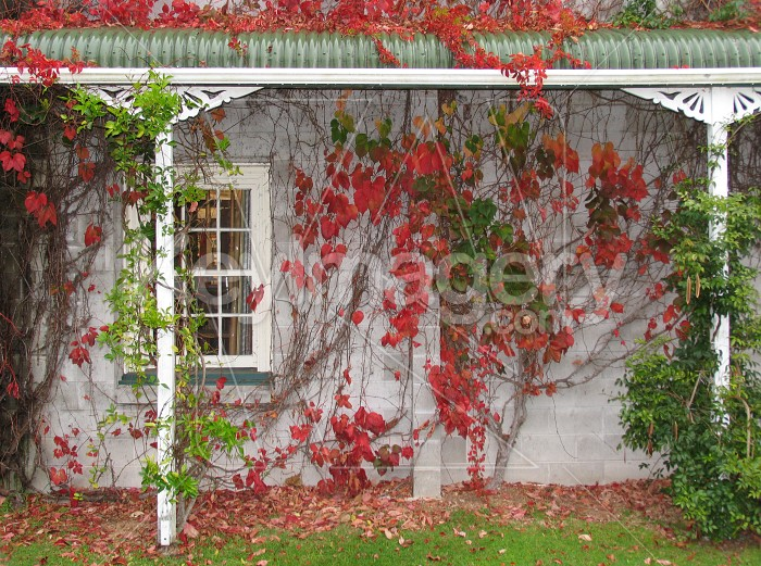 Autumn leaves crawling over building Photo #594