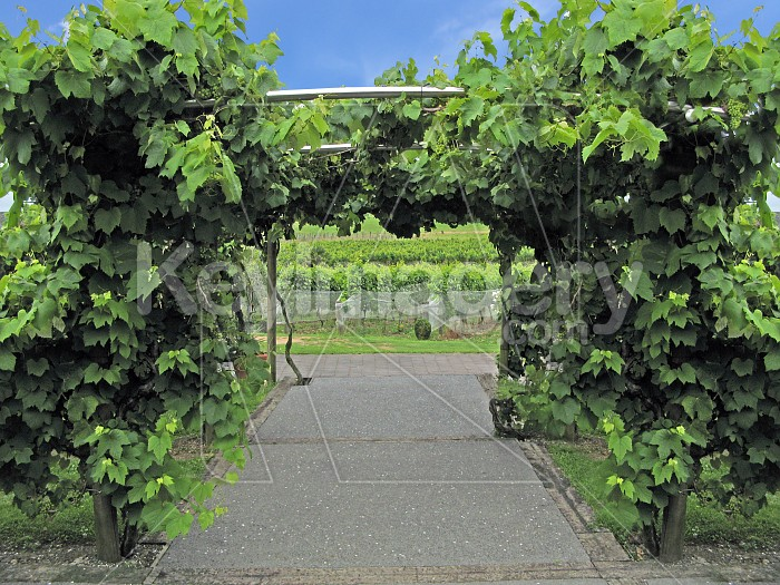 Grapevine archway leading to vineyard Photo #534