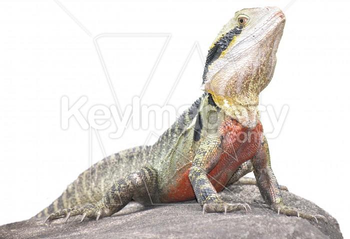 Lizard sitting on rock Photo #622