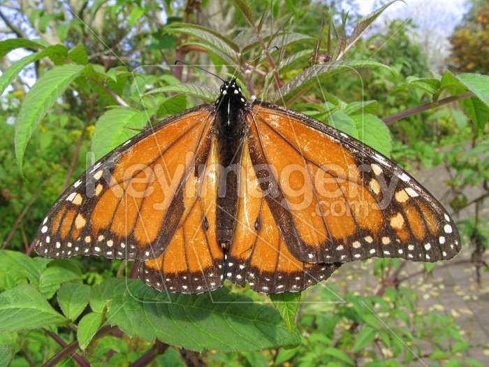 Monarch butterfly on a plant Photo #1459
