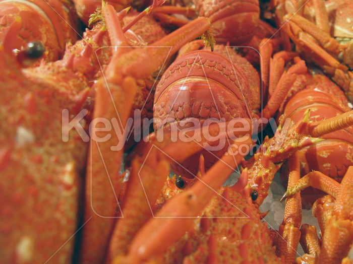 Rock lobster or Crayfish Photo #2048