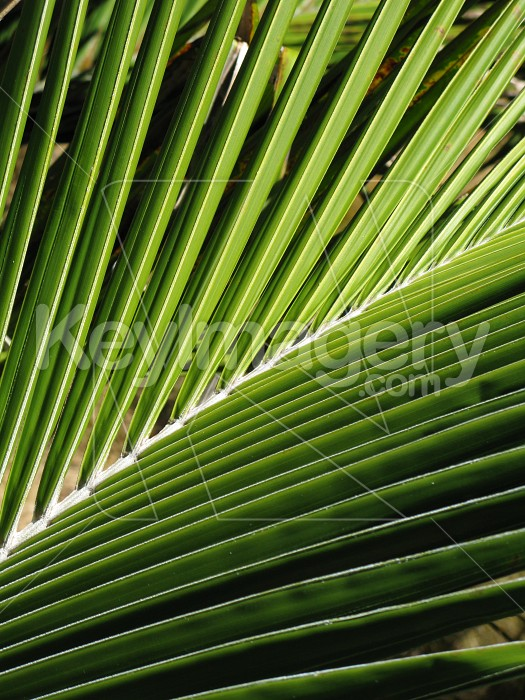 Section of a palm frond Photo #6526