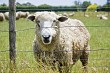 Woolley Sheep