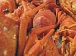 Rock lobster or Crayfish