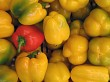A bunch of yellow capsicums (with red one)