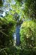 Tane Mahuta Kauri Tree