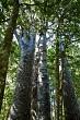 Four Sisters Kauri Trees