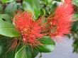 Pohutukawa flower on a tree