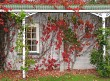 Autumn leaves crawling over building