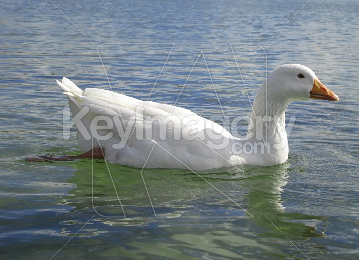 White duck swimming Photo #1553
