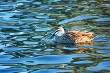 Mallard-Grey Duck cross swimming in a pond