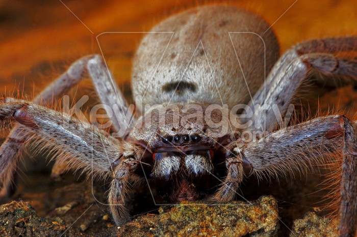 Huntsman spider Photo #3053
