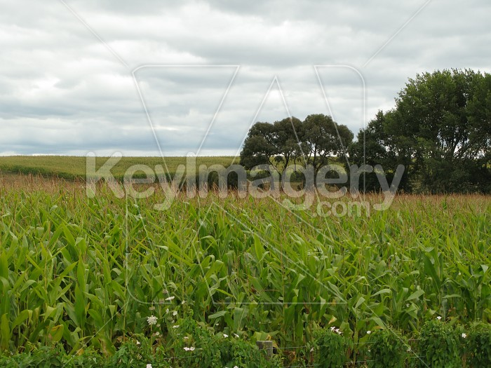 Field of wheat in the country Photo #464