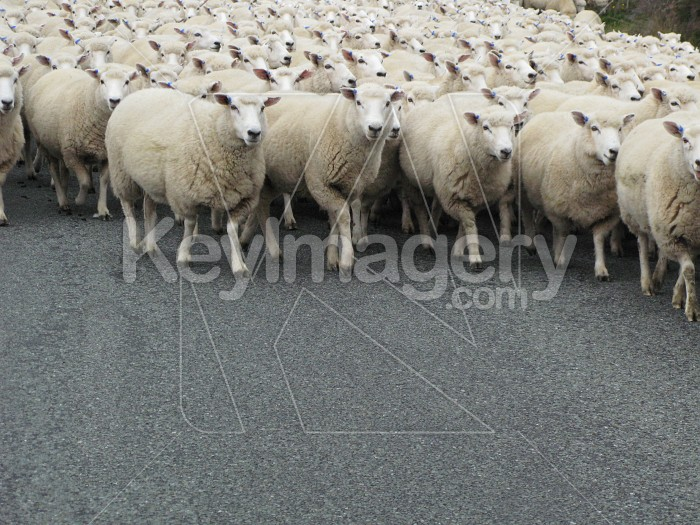 Sheep are a coming Photo #12102