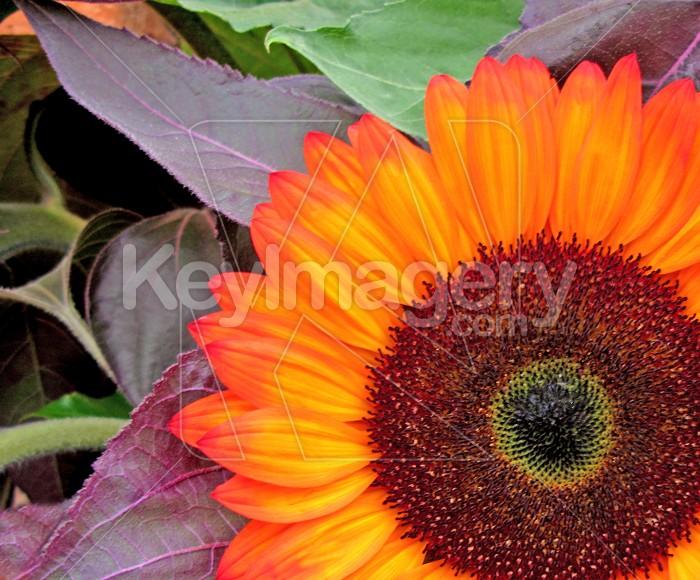 Sunflower Photo #500