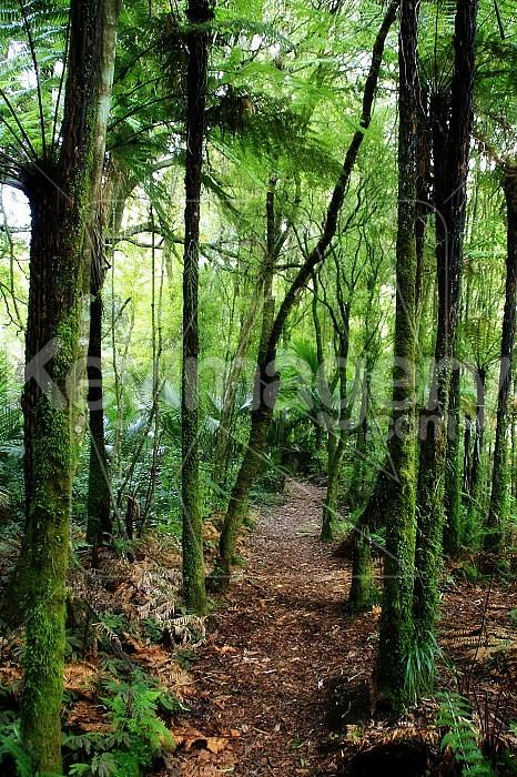 New Zealand Native Bush Photo #37062