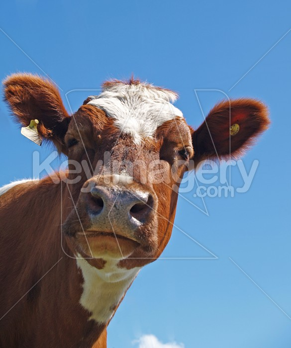 Ayrshire Cow Photo #4297