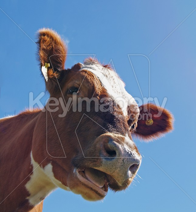 Ayrshire Cow Photo #4299