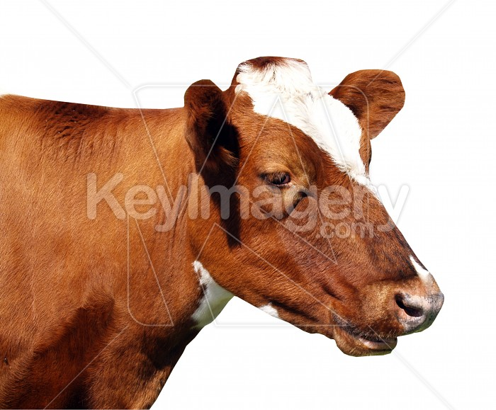 Ayrshire Cow Photo #4331