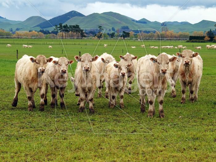 Charolais Cattle Photo #4209