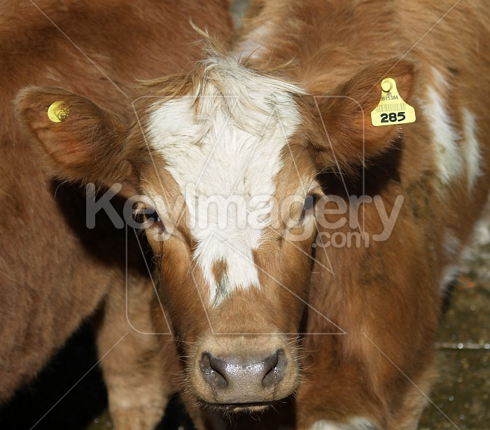 Cow 285 Photo #4077
