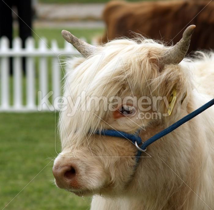 Cream Highland Heifer Photo #6289