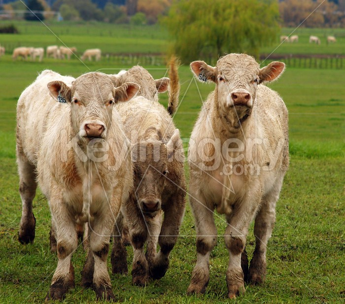 Curious Charolais Photo #4198