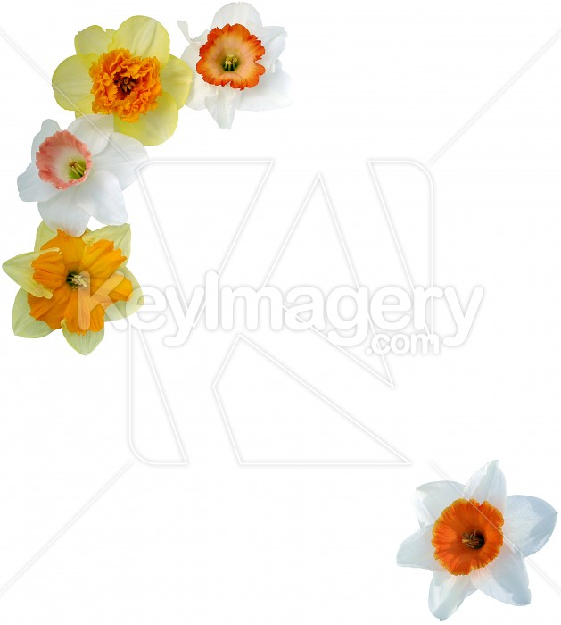 Daffodils with copy space Photo #4222