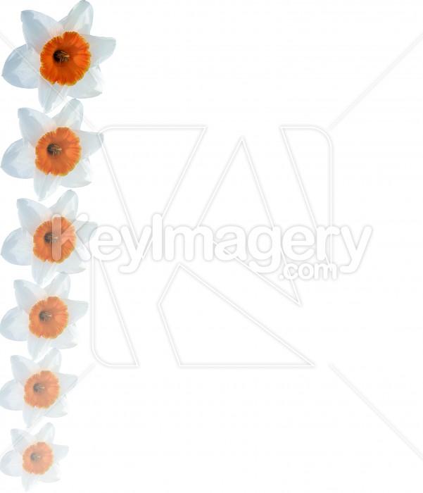 Fading Daffodil Border Photo #4239
