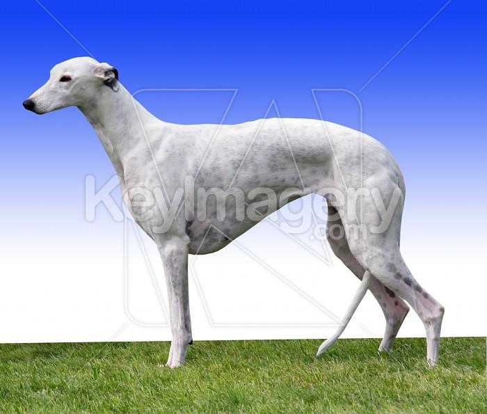 Greyhound Photo #4583