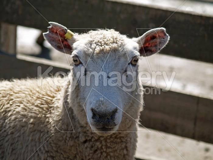 I See Ewe Photo #4134