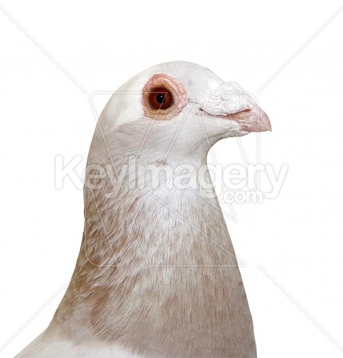 Pigeon Portrait Photo #6291