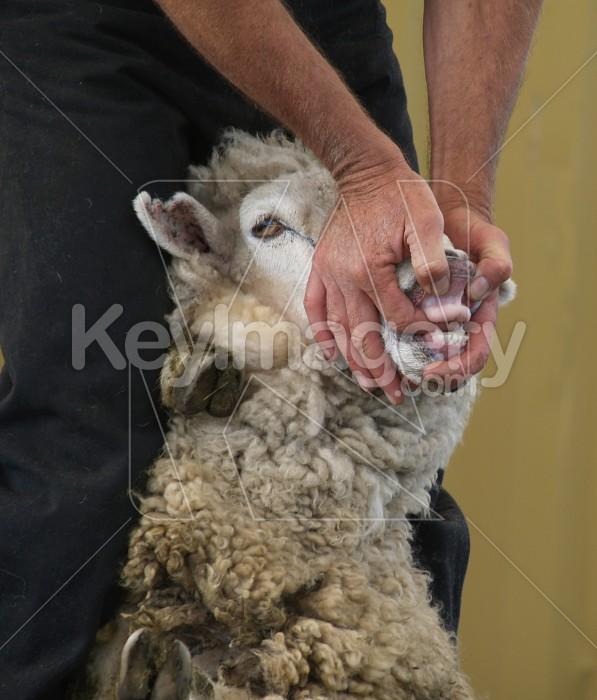 Sheeps Teeth Photo #4779