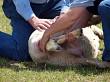 Delivering a Lamb