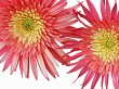 Two Gerbera and Ant