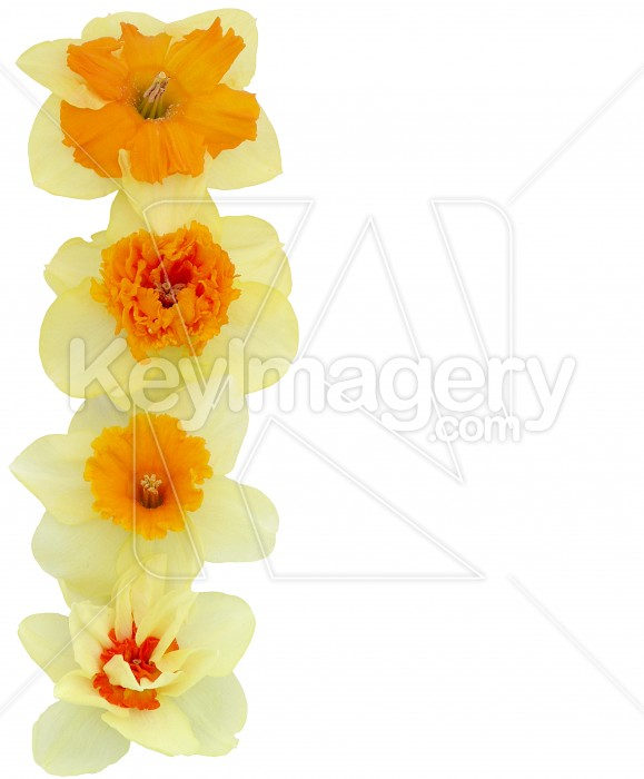 Yellow Daffodil Margin Photo #4208