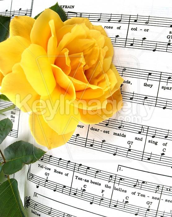Yellow Rose of Texas Photo #4542