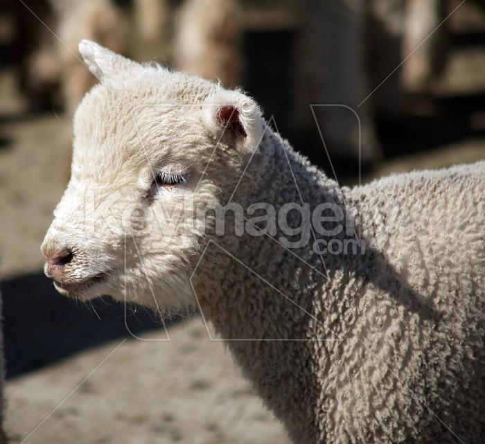 Young Lamb Photo #4079