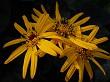 Summer Ragwort Flower