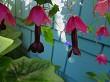 Purple Bell Vine Flowers