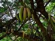 Guajilote Tree